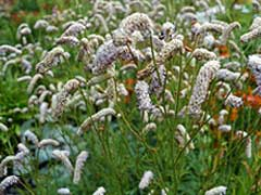 Sanguisorba National Collection Holders